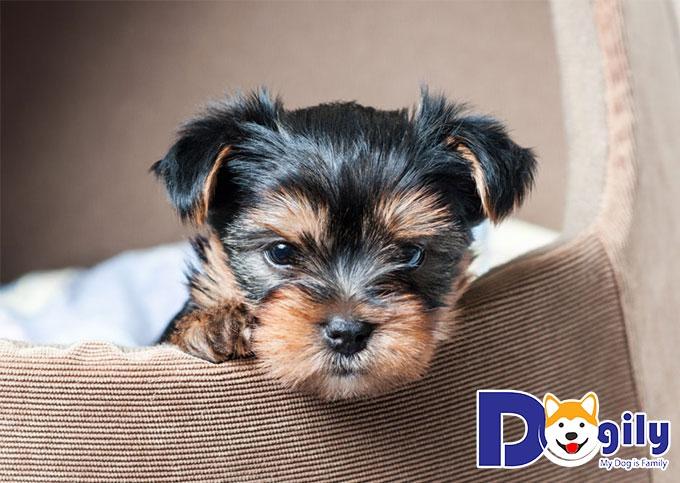 Trên thị trường hiện nay không có nhiều nơi bán giống chó Yorkshire Terrier