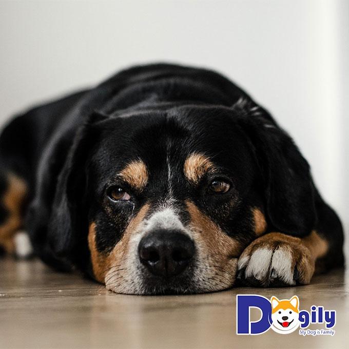 Trước khi triệt sản chó cái cần chú ý những gì?
