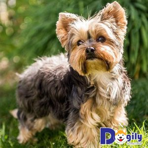 Yorkshire Terrier có ngoại hình rất xinh xắn