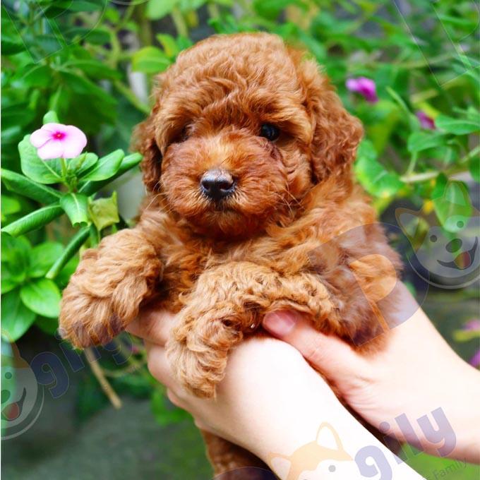 Gả bán nàng cún Poodle có bộ lông màu nâu đỏ – đáng yêu như công chúa ( MS 10919P )