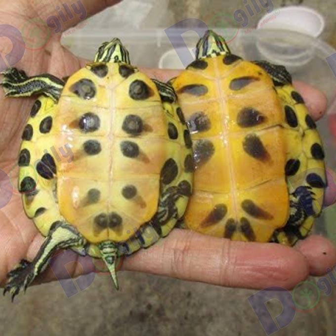 Mới – bán Rùa bụng vàng Yellow Belly Turtle cực hiếm ( MS : 8919R )