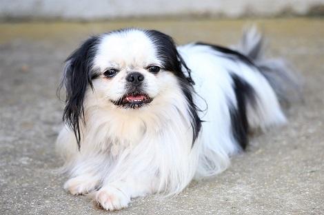 Chó Bắc Kinh lai Nhật có thông minh không ? Giá bao nhiêu ? Mua ở đâu rẻ nhất