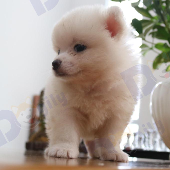 Chó Phóc Sóc trắng 2 tháng tuổi mở bán đầu tháng 9 cực hot ( MS : 3919PS )