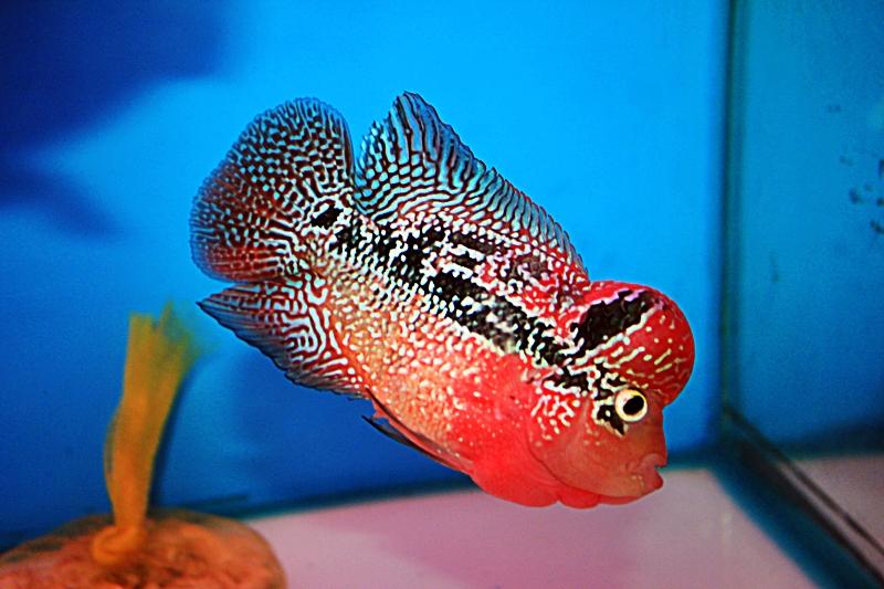 Khám phá 101 sự thật về cá La Hán ! Những điều thú vị bạn nên biết