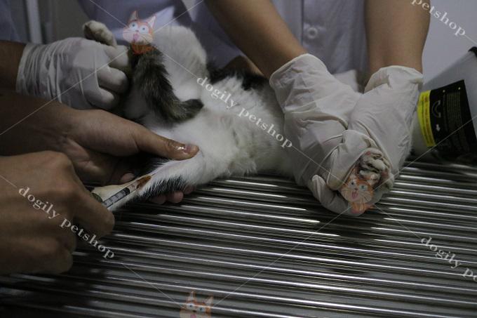 Gây mê cho mèo trước khi phẫu thuật.