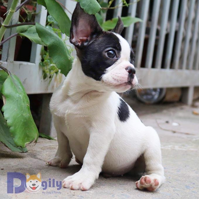 Chó Bull Pháp màu lông trắng đen nhị thể siêu đáng yêu tin được không !