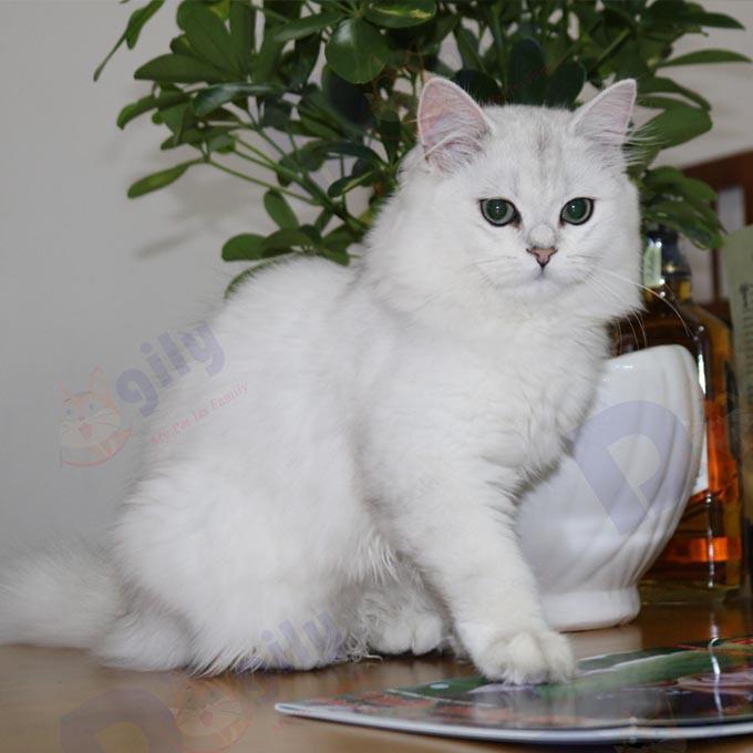Tháng 9 mở bán bé mèo Anh lông dài trắng cực đẹp – đường nét thanh tao ( MS 3919ALD )