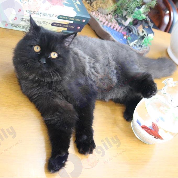 Mèo Anh lông dài đầy siêu đẹp và uy nghi cho ai sỡ hữu bé ( MS 3919Sil )