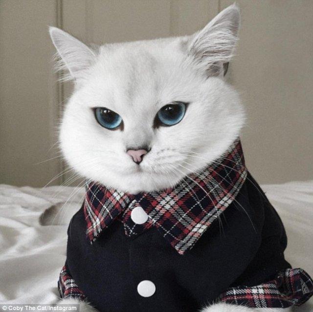 mèo anh lông ngắn màu trắng