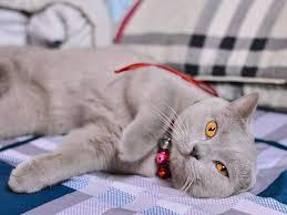 mèo anh lông ngắn màu lilac giá rẻ