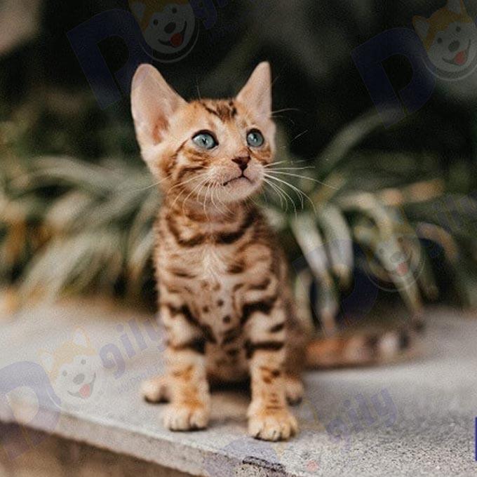 Bé mèo Bengal vằng đen cực đẹp mở bán tháng 9  ( MS : 7919B )