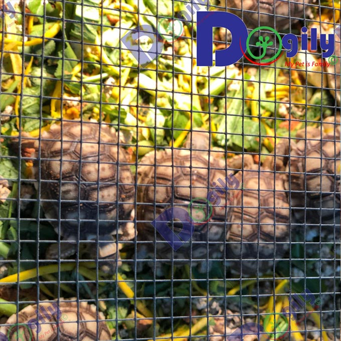 Rùa Sucata mở bán đàn rùa lớn tháng 9 MS 23919R