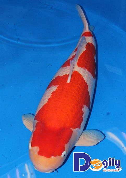 Thân hình cá koi nhật