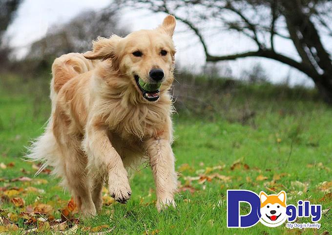 Bật mí những điều thú vị về chó Golden