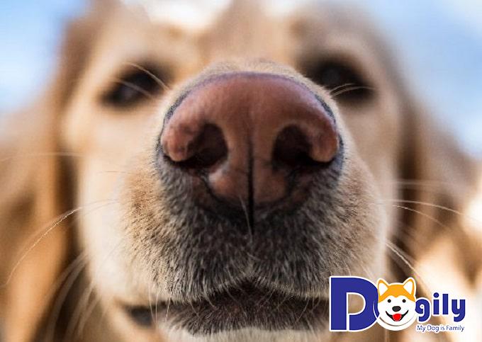 Biện pháp chữa trị chó bị chảy máu mũi