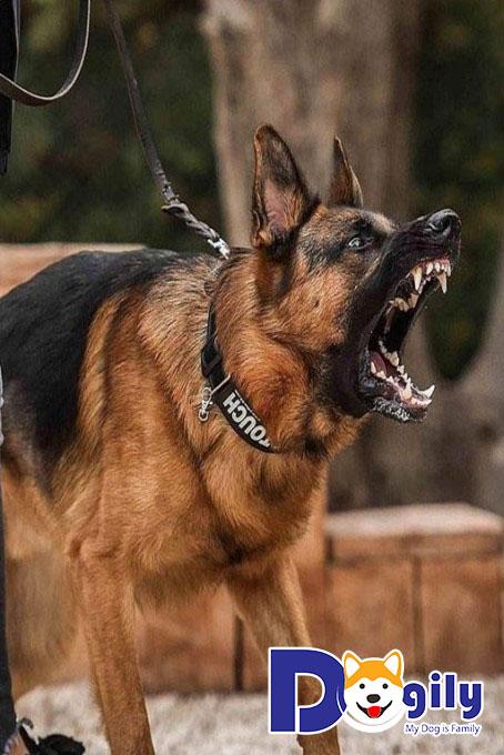 Các chú chó trở nên rất mạnh bạo và hung tợn