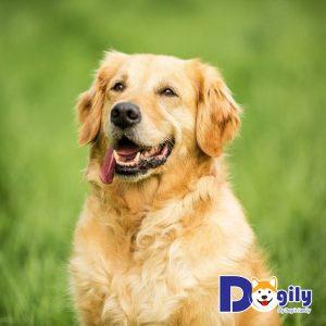 Các loại bệnh thường gặp ở chó Golden và cách phòng chống như thế nào