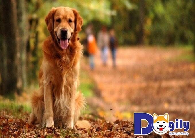 Cách huấn luyện chó Golden Retriever