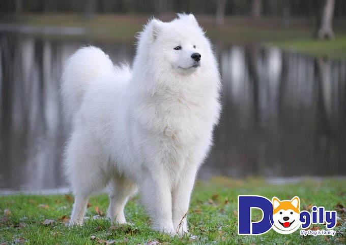 Cách nuôi chó Samoyed - Huấn luyện chó Samoyed