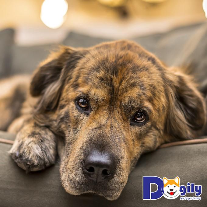 Bệnh Care ở chó và những điều bạn chưa biết về nó