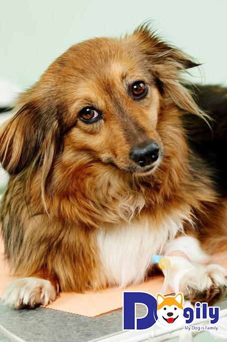 Care là một trong các bệnh thường gặp ở chó và vô cùng nguy hiểm
