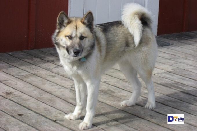 Chó kéo xe Greenland
