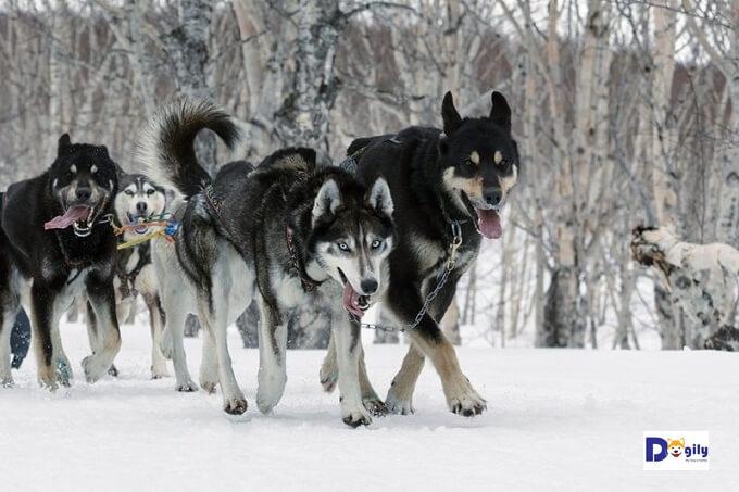 Chó Alaskan Husky có ngoại hình rất khác biệt nhau
