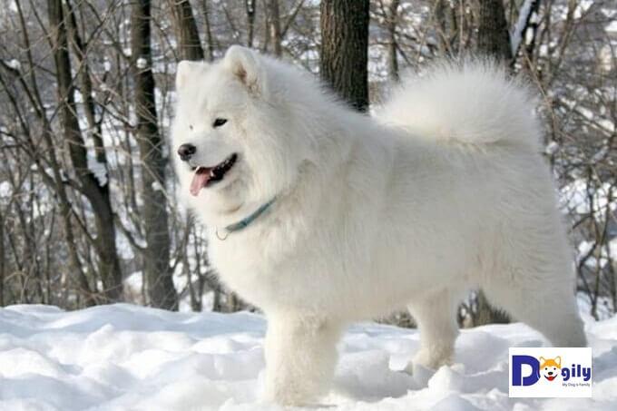 Chó kéo xe Samoye - Nàng Bạch tuyết của xứ sở Bạch Dương