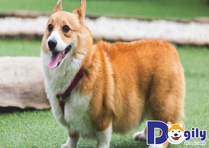 Chăm sóc chó Corgi sinh sản trong thời kỳ mang thai)