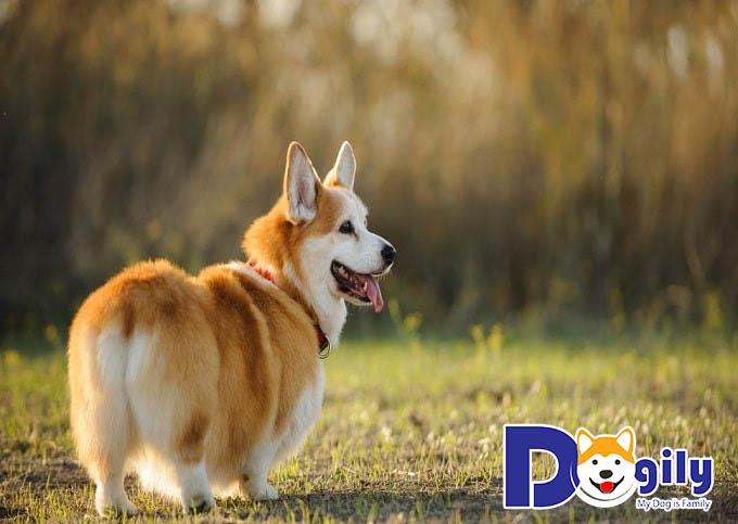 Chăm sóc và vệ sinh cho chó Corgi đúng cách