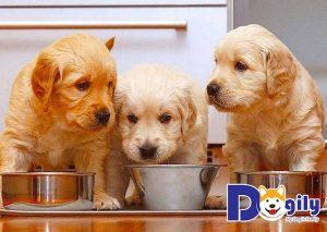 Chế độ dinh dưỡng khoa học cho chó Golden