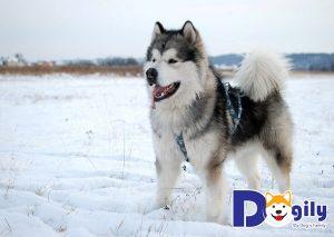 Chó Alaska có biết sủa không?