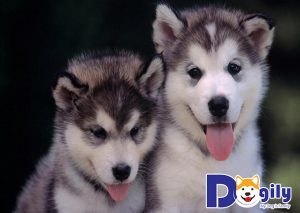 Chó Alaska đẻ mấy con?