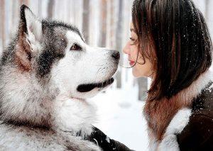 Chó Alaska mang thai bao nhiêu tháng thì đẻ?