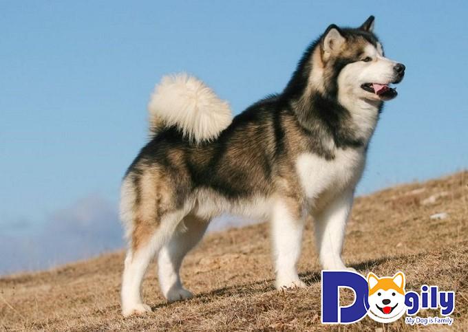 Chó Alaska nhập về từ châu Âu