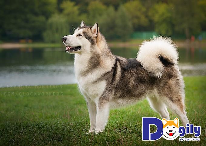 Chó Alaska phải được 1 tuổi rưỡi mới bắt đầu cho phối giống