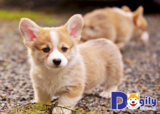 Chó Corgi từ 1-2 tháng tuổi