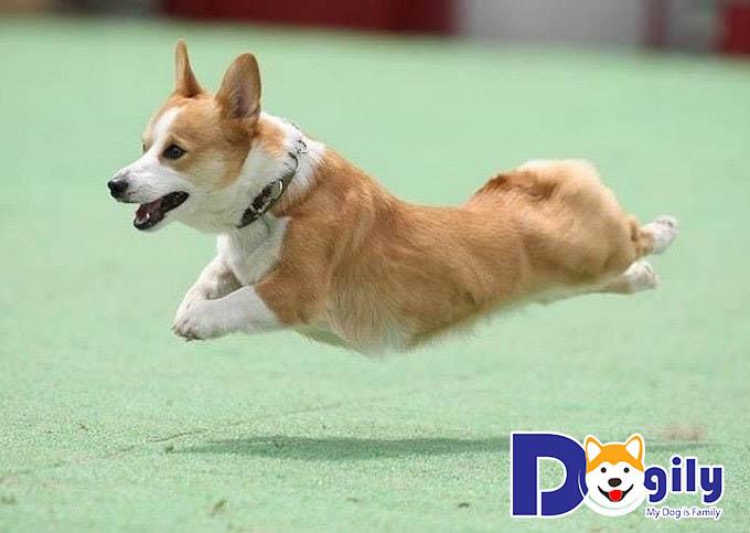 Chó Corgi vận động mạnh mẽ và thoải mái hơn khi được tiêm phòng chống bệnh