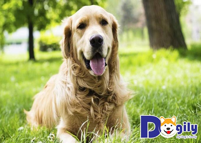 Chó Golden Retriever cực kỳ hài hước