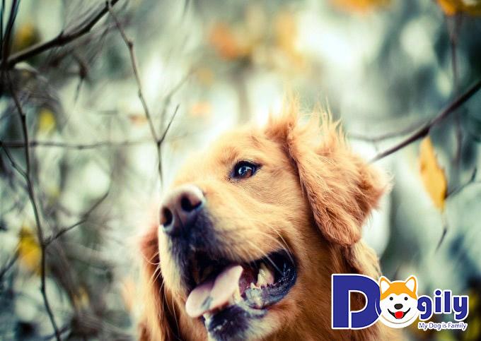 Chó Golden giá bao nhiêu?