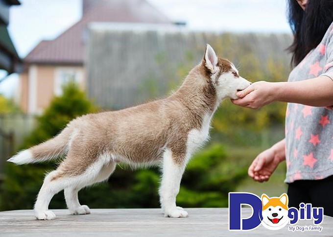 Chó Husky cần huấn luyện đi vệ sinh đúng chỗ ngay từ nhỏ
