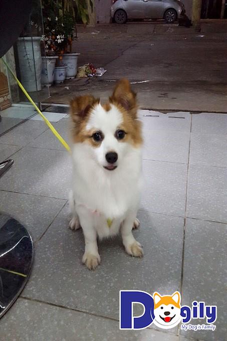 Chó Phốc Sóc lai Nhật