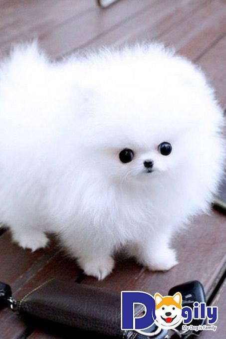 Chó Phốc sóc có màu lông đơn sắc