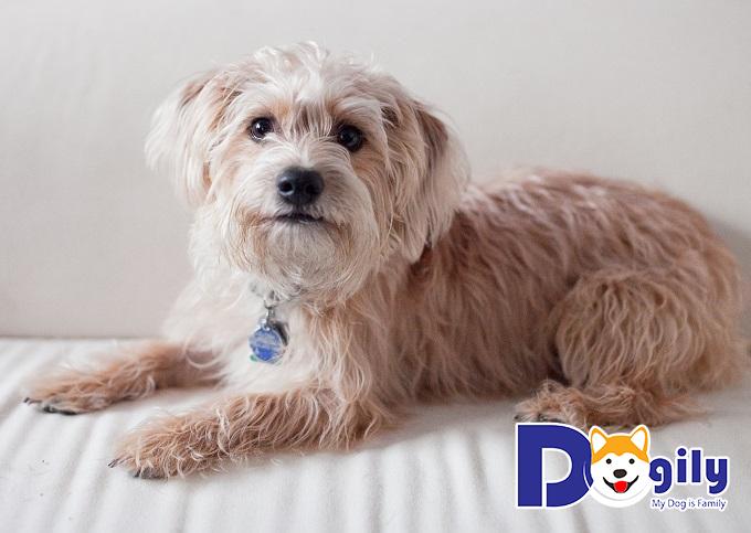 Chó Pomapoo