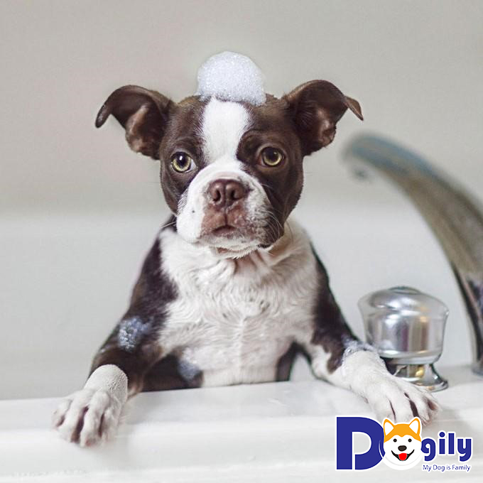 Chó bị ghẻ có nên tắm không?