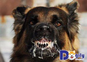 Chó dại có thể tấn công con người và các vật nuôi khác