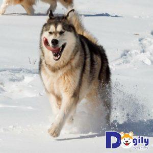 Chú chó Alaska Malamute