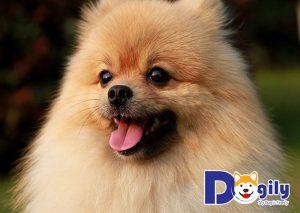 Chú chó Pom - A - Pug