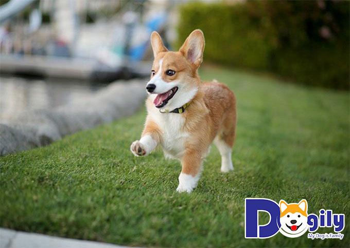 Corgi là một giống chó năng động và hoạt bát