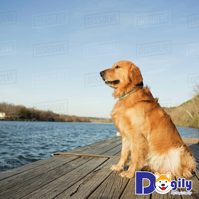 Đặc điểm ngoại hình của chó Golden Retriever thuần chủng